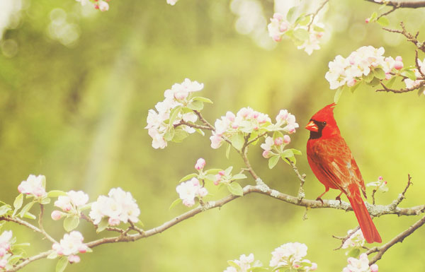 The Meaning of a Red Cardinal Sighting