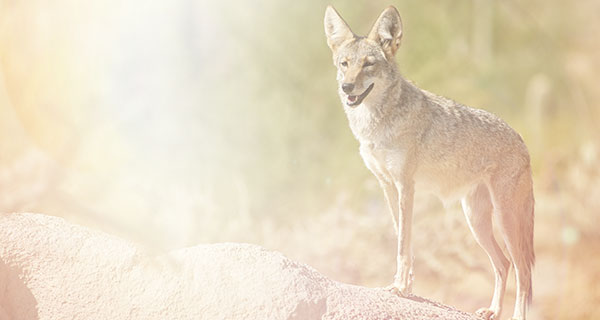 The Meaning of a Coyote Sighting | California Psychics