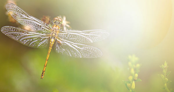 The Meaning of a Dragonfly Sighting | California Psychics