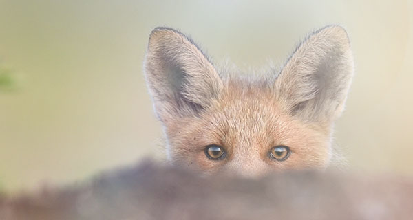 The Meaning Of A Fox Sighting California Psychics