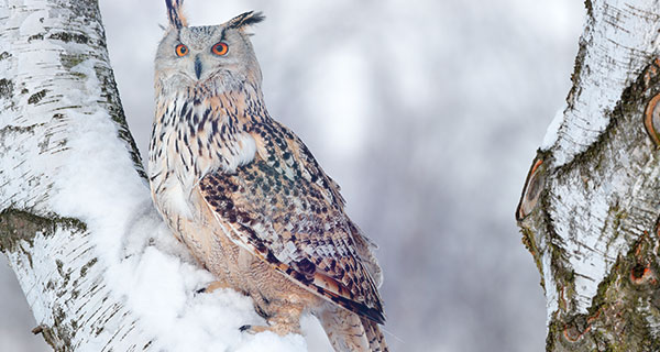The Meaning of an Owl Sighting | California Psychics