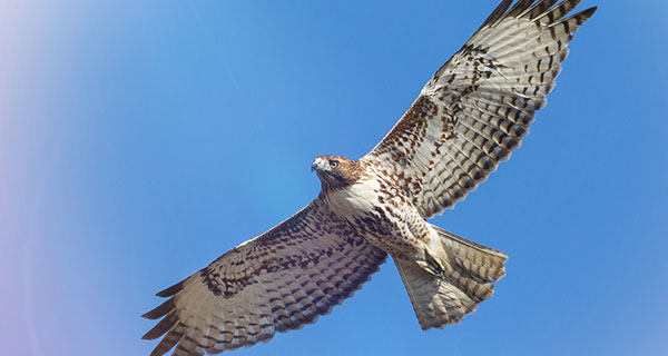 The Meaning Of A Hawk Sighting California Psychics