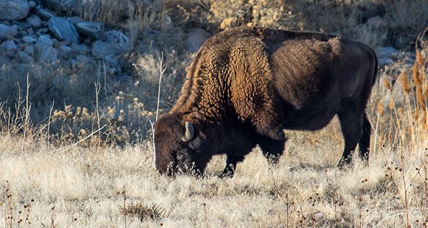 The Meaning of a Bison Sighting