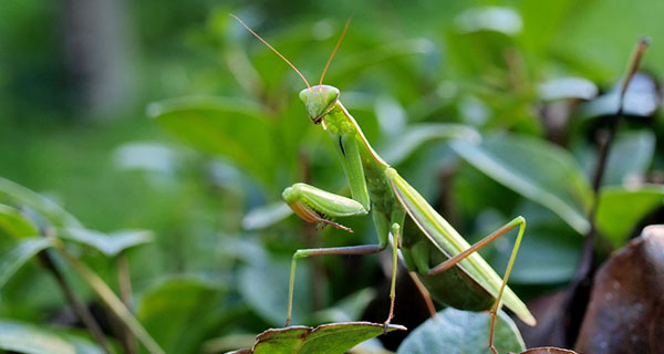 The Meaning of a Praying Mantis Sighting