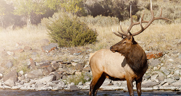The Meaning of an Elk Sighting