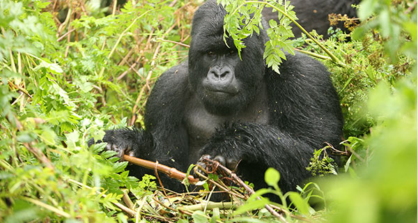 The Meaning of a Gorilla Sighting