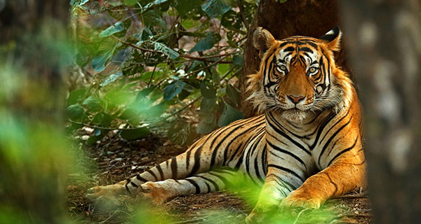 The Meaning of a Tiger Sighting