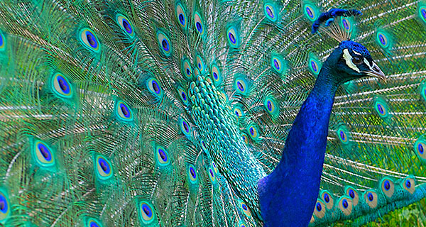 The Meaning of a Peacock Sighting