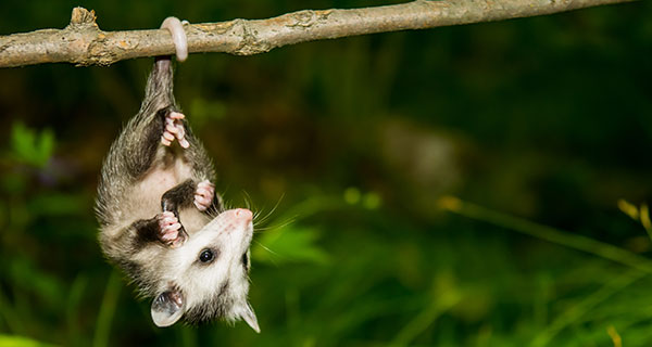 The Meaning of an Opossum Sighting